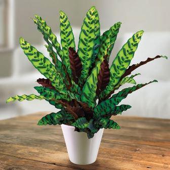 Calathea Lancifolia © klikhijau.com