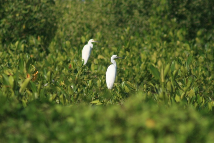Fauna Hutan Mangrove © antarafoto