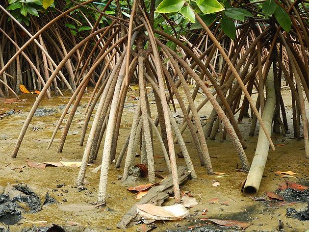 Akar tunjang mangrove © Himiteka IPB