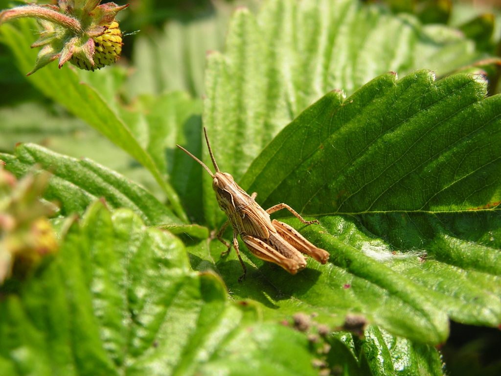 Brown Grasshopper Perched on Leaf During Day © Bart Sokol
