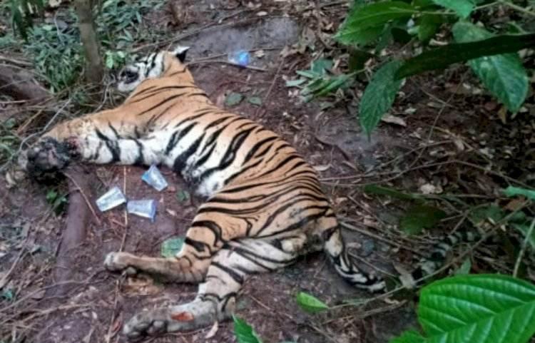 Gambar 2. Harimau Betina Mati Terkena Jerat Seling. Sumber: borneo24.com