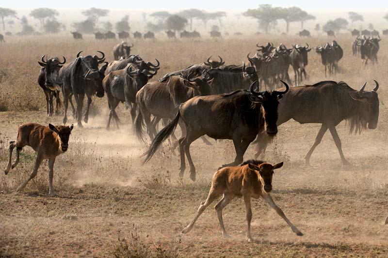 Wildebeest © Britannica.com