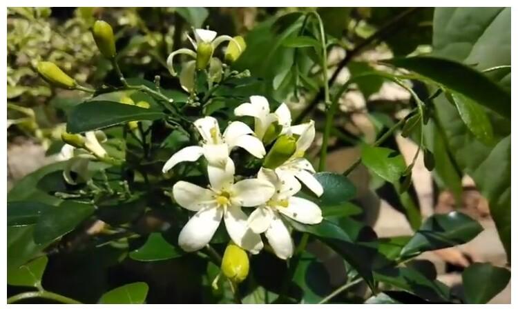 Gambar 2. bunga kemuning berwarna putih