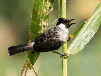 Gambar 1. Burung Kutilang