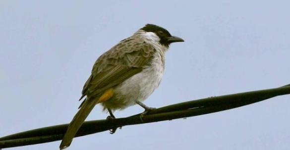 Gambar 2. Ciri-ciri Burung Kutilang