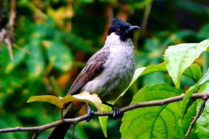 Gambar 3. Pakan dan Habitat Burung Kutilang