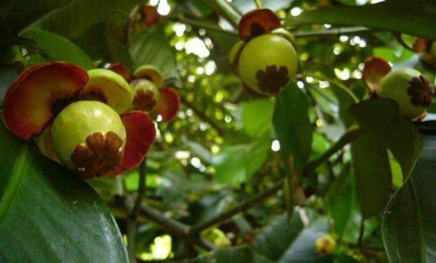 ⓒ agrotek.id-buah-manggis