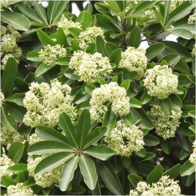 Pohon pulai (Alstonia scholaris). Sumber: bing.com