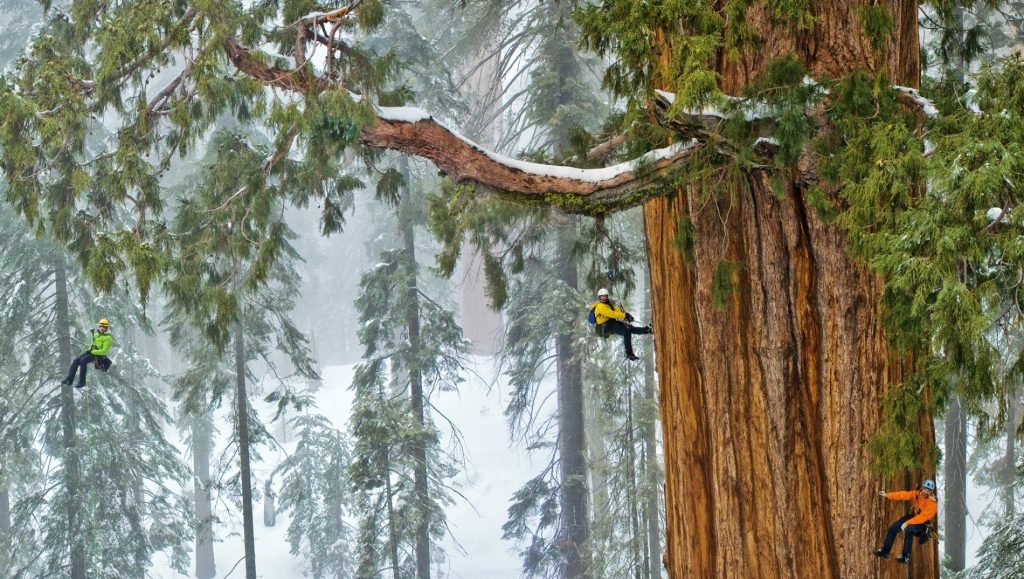 Giant Sequoia © National Geographic