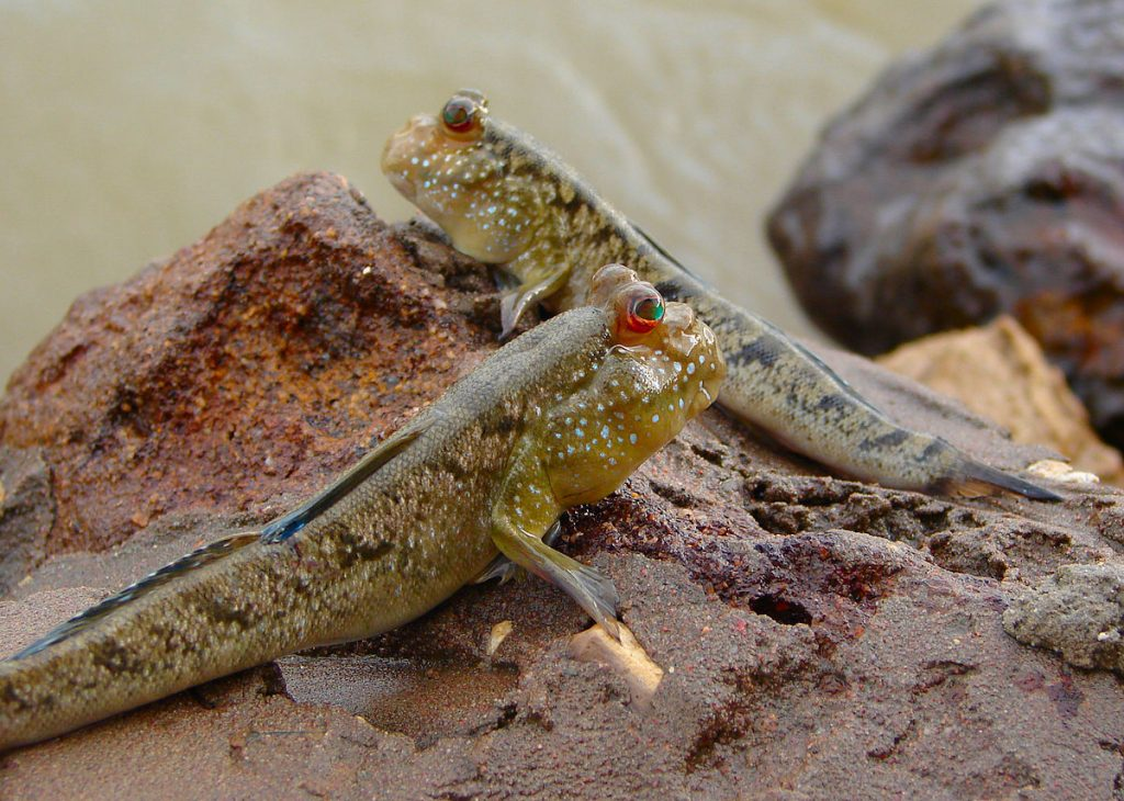 [1] Gambian mudskipper