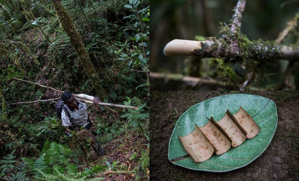 Gambar 1. Tumbuhan Akway Di Pegunungan Arfak