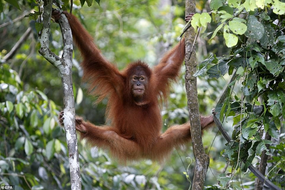 Orangutan Sumatera ©️dailymail.co.uk
