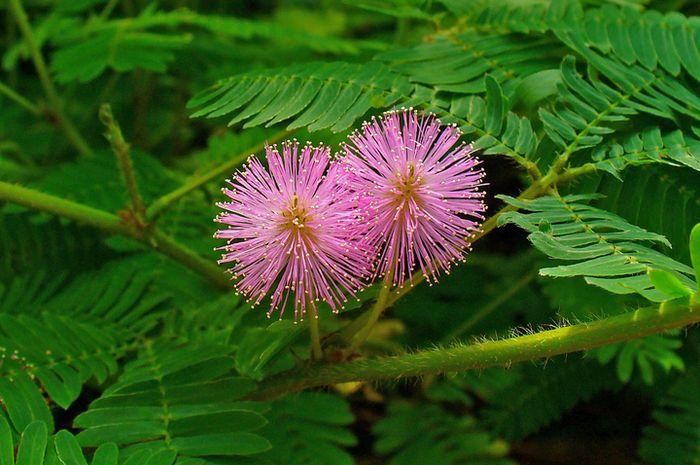 Bunga Tumbuhan Putri Malu © Grid
