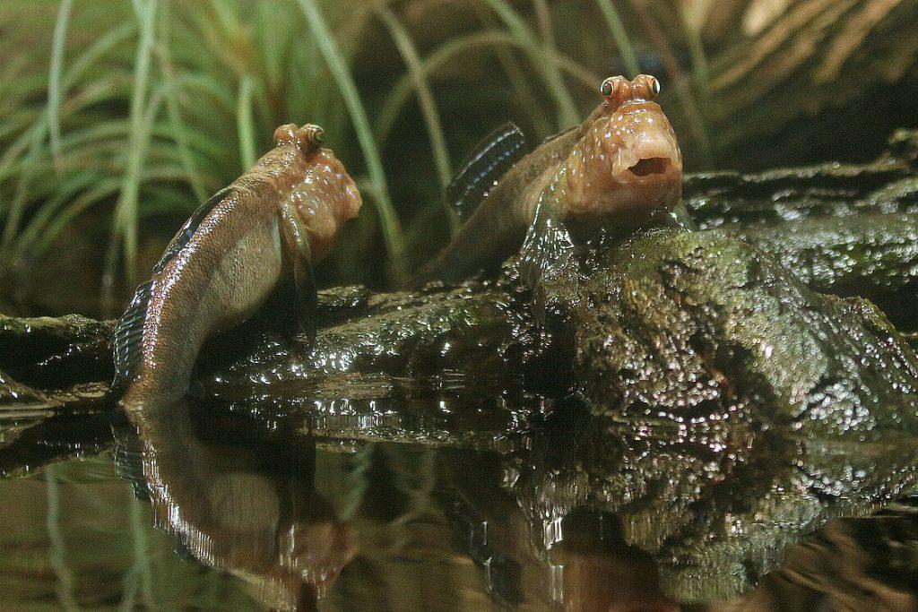 [3] Atlantic mudskipper