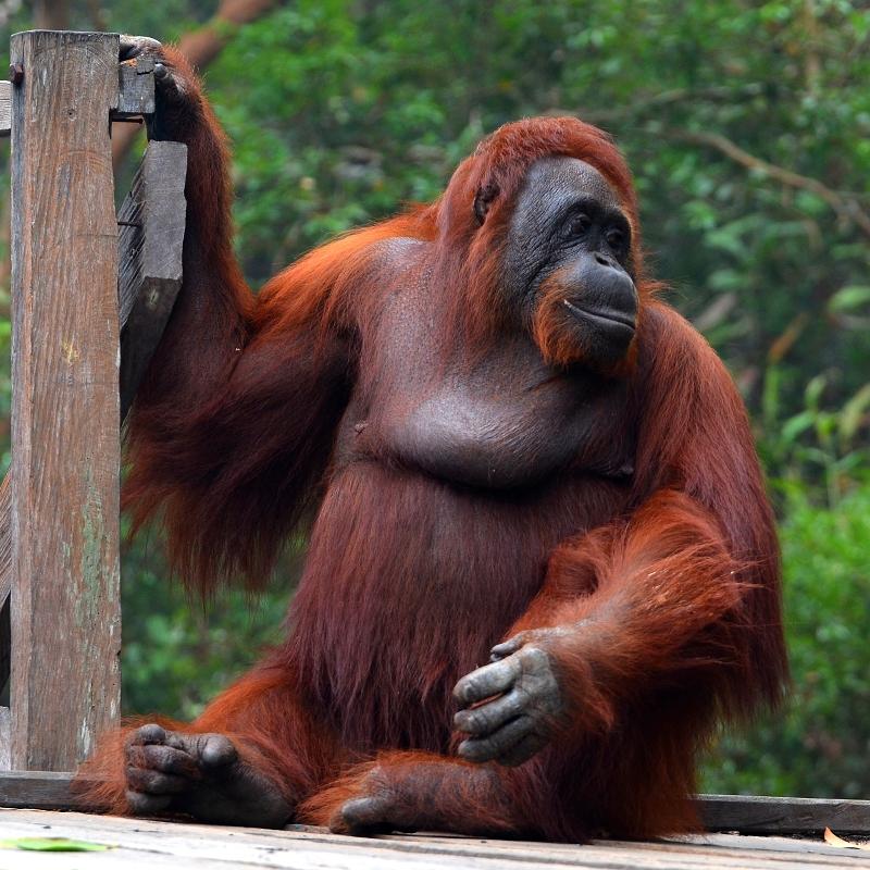 Orangutan Borneo Timur Laut (Pongo pygmaeus wurmbii) ©️BioLib.cz