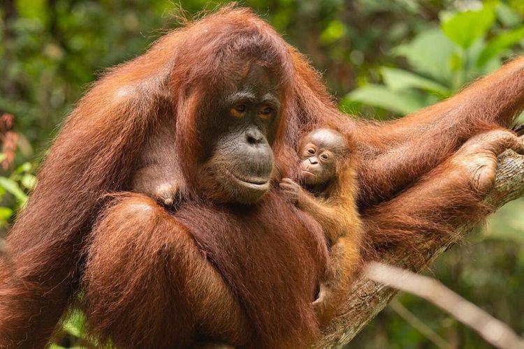 Orangutan © Kompas.com