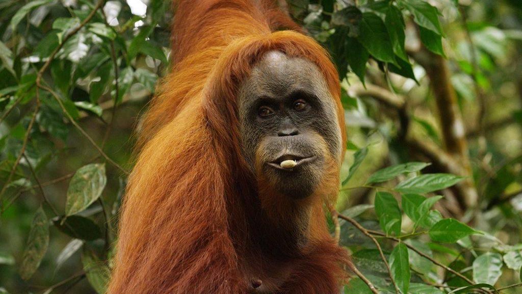 Garis Rambut Orangutan ©️natgeotv.com
