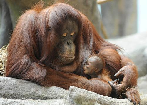 Orangutan dan Anaknya ©️zooborns.com