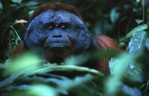 Orangutan Borneo Barat Laut (Pongo pygmaeus pygmaeus) ©️orangutanssp.org