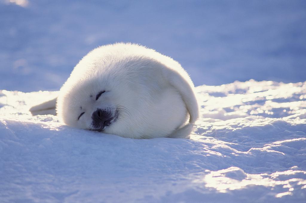 Harp seal - © News.cgtn.com