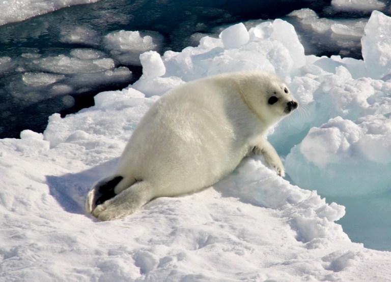 Harp seal - © Whalescientists.com