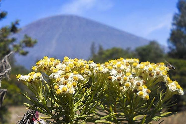 Gambar 1. Bunga Edelweis