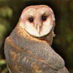 Spesies Burung Hantu yang Wajib Kamu Tahu!