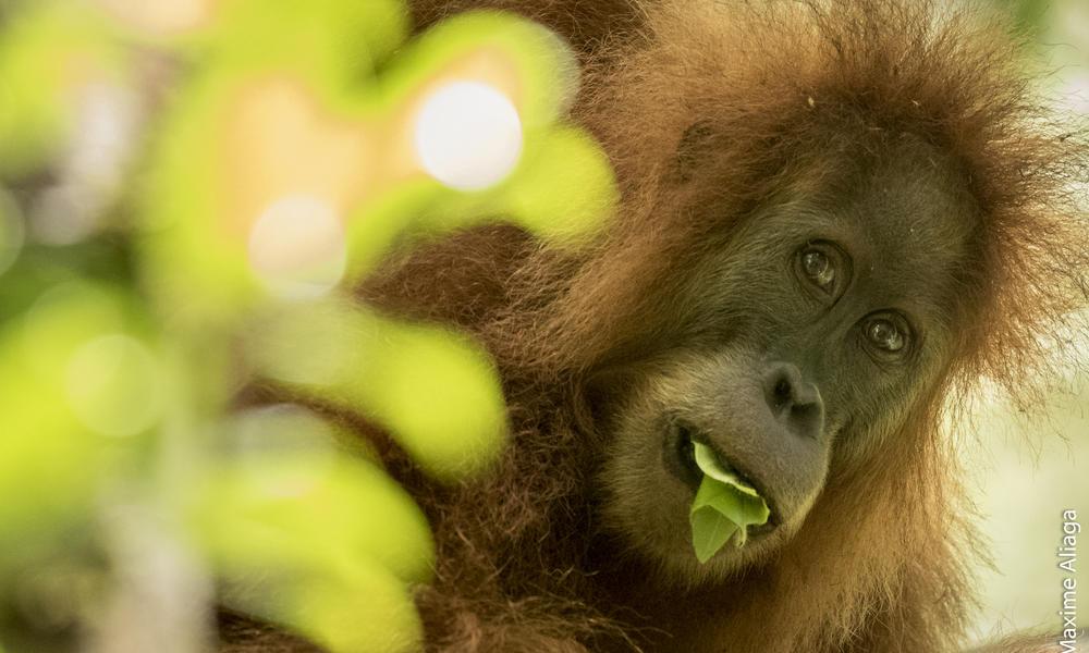 Orangutan Tapanuli ©️worldwildlife.org