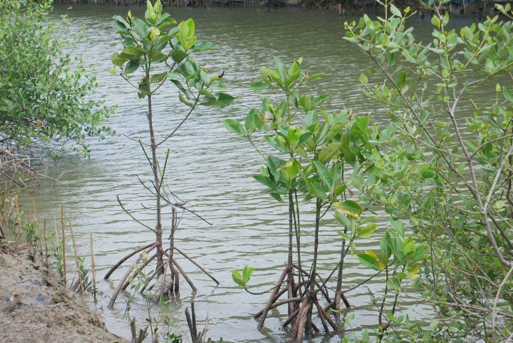 Bibit Mangrove untuk Mencegah Bencana Lanjutan © Dokumentasi LindungiHutan