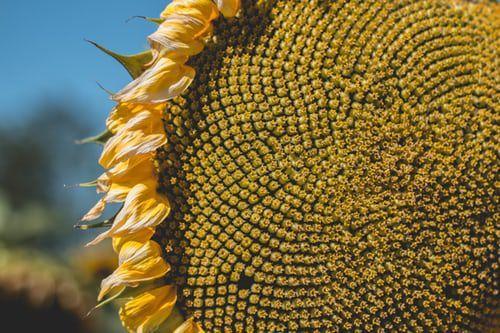 Gambar 3. Biji Bunga Matahari