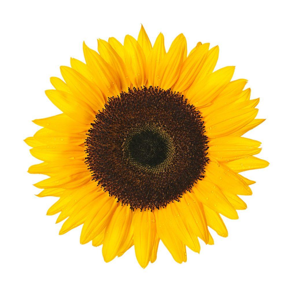 Gambar 2. Bunga Matahari