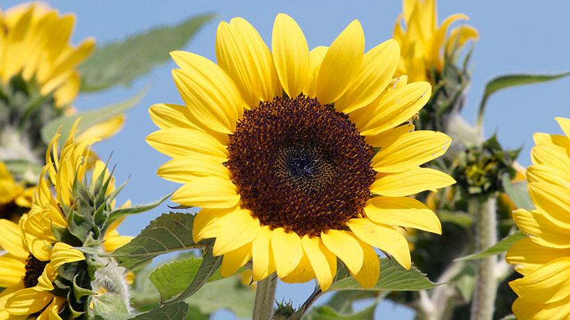 Gambar 1. Bunga Matahari