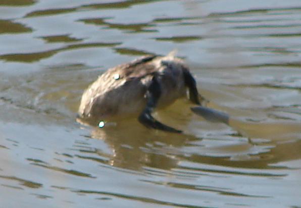 Gambar 6. Burung Titihan Australia Sedang Menyelam