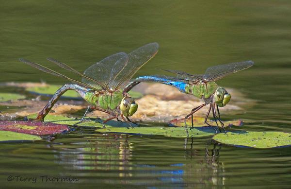 Gambar 2. Habitat Capung © lakecountynature.com