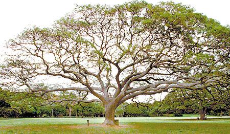 Gambar 1: Earpod Tree
