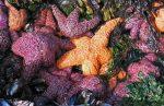 Bintang Laut : Kematian dan Efek Pemanasan Global