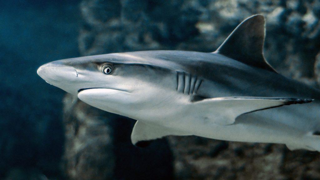 Gambar 1. Shark © Christel Sagniez