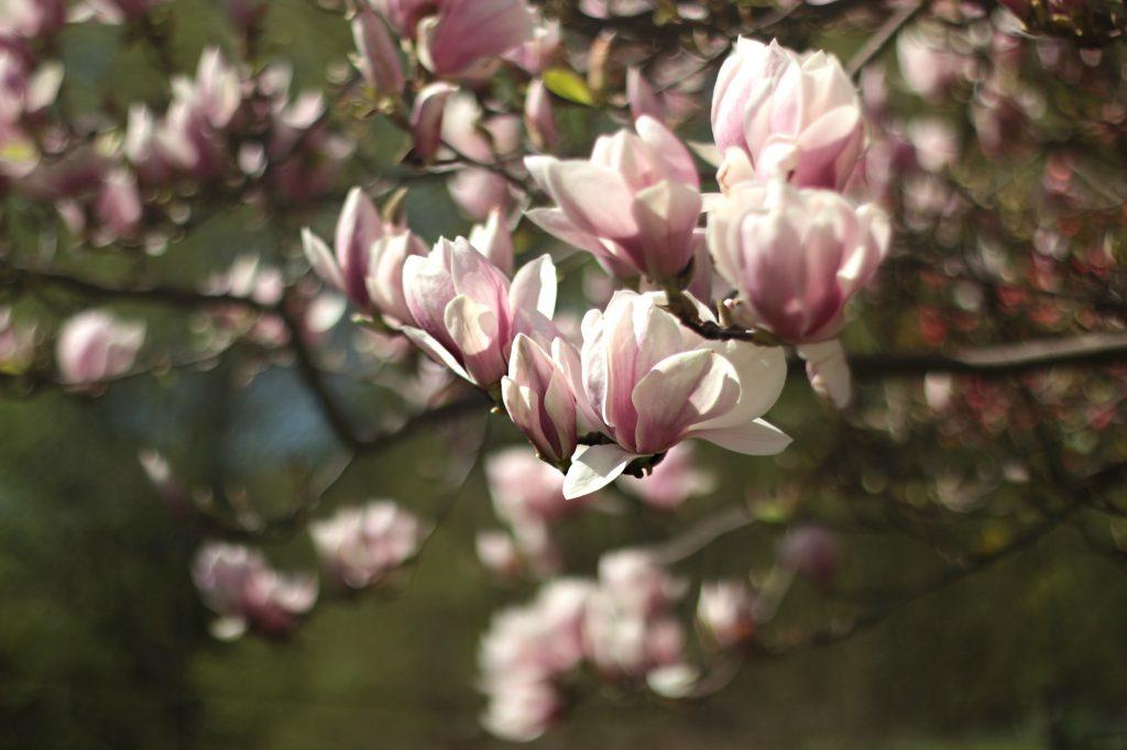 Gambar 1. Bunga dari Magnolia Memiliki Beragam Bentuk dan Warna Sesuai Spesies