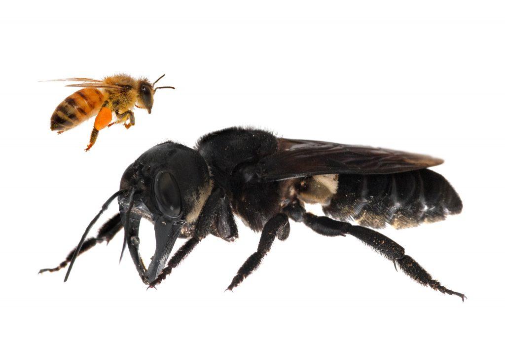 Gambar 1. Perbandingan Lebah Raksasa Wallace dengan Lebah Madu