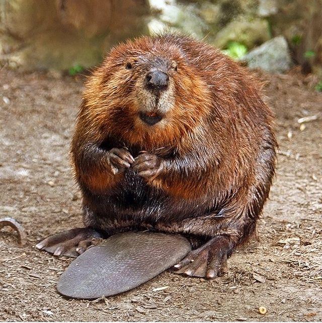 Gambar 1. Biwara/Beaver (© Steve/Wikimedia Commons)