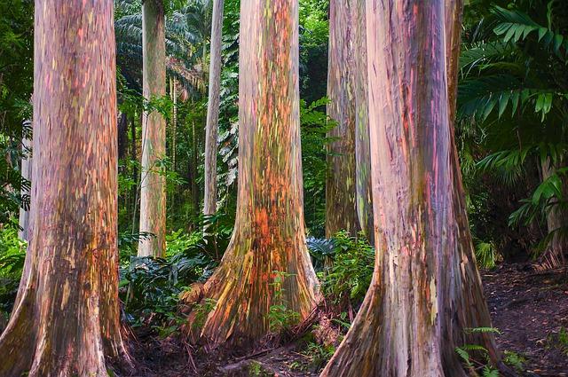 Pohon Pelangi atau Eucalyptus Deglupta Indonesia