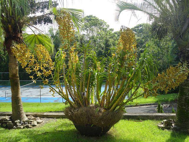Gambar 1. Anggrek Grammatophyllum speciosum