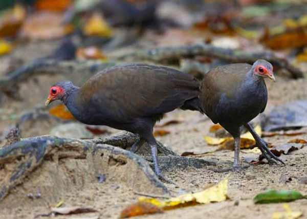 Gambar 1. Burung Megapodiidae yang Didominasi Warna Gelap