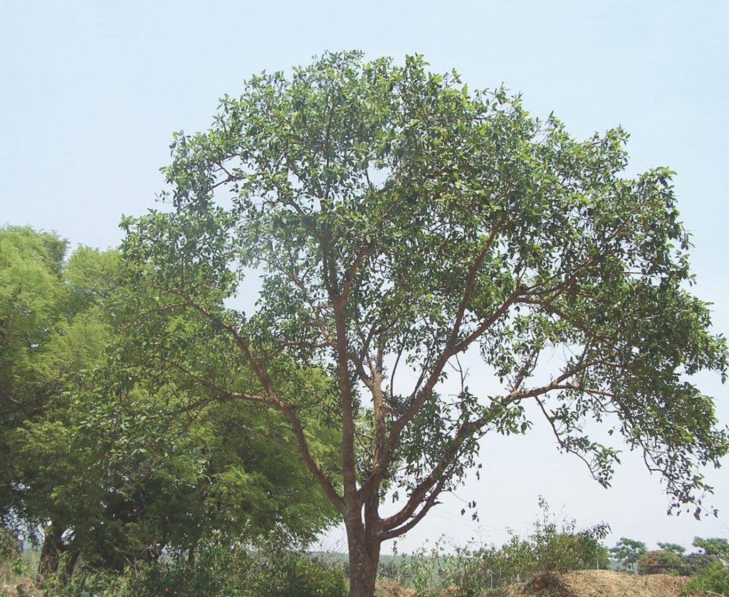 Gambar 1. Pohon Elo Termasuk Pohon Besar Karena Tingginya yang Mampu Mencapai 20 meter dengan Diameter Batang Mencapai 50 cm