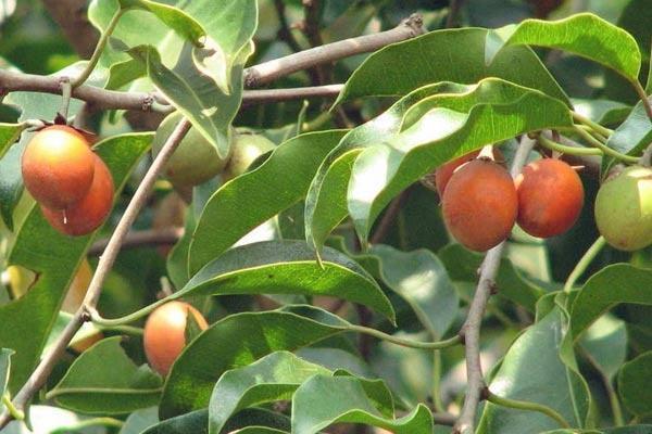 Gambar 1. Pohon Tanjung