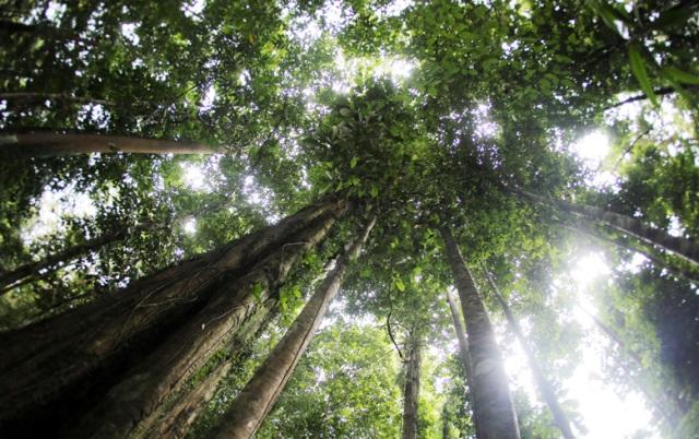 Gambar 1. Pohon Ulin