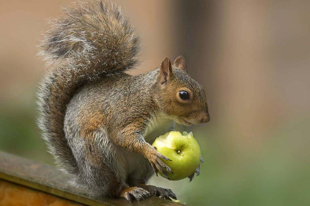 Gambar 1. Squirrel