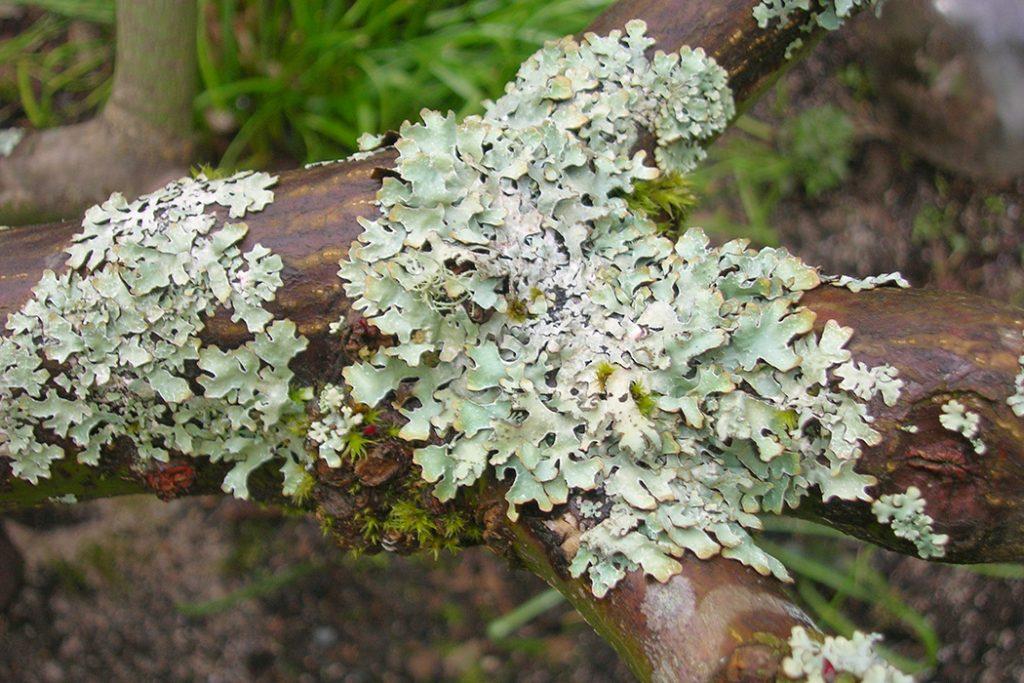 [2] Parmelia lichen (Photo credit: @brewbooks via flickr)