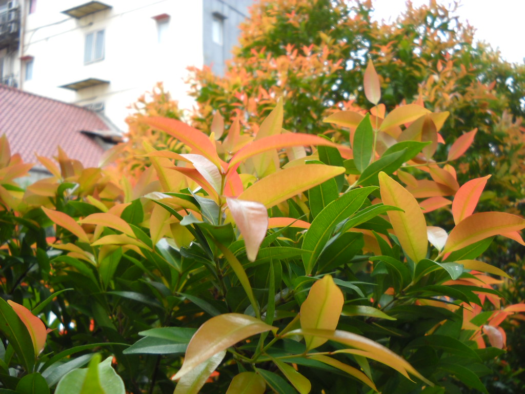Syzygium Oleana © Wikipedia