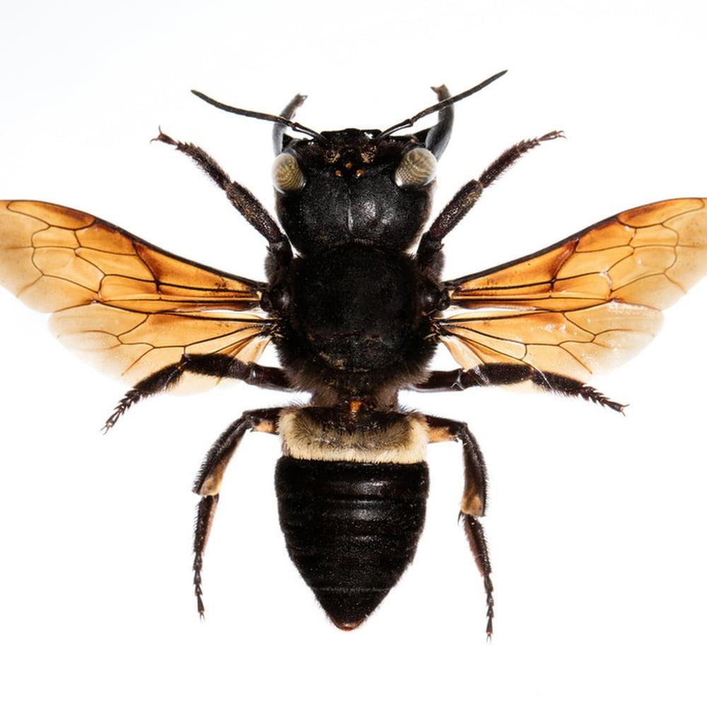Gambar 2. Lebah Raksasa Wallace
